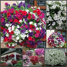 100 Petunia Hanging Flower Seeds Mixed Bright Garden Plant Trailing Home Garden