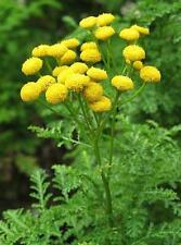 500 Graines de Tanaisie Méthode BIO seeds fleurs vivace insectifuge ami potager