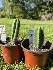 Echinopsis San Pedro Seedlings, Mm X Brigesii Eileen, Scopulicola X Oscar