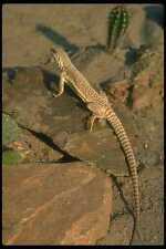 175060 Desert Iguana Lizard A4 Photo Print