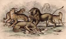 LEONE TIGRE: Oliver Goldsmith antica stampa 1860 ORIGINALE mano colorata