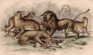 Lion Tiger: Oliver Goldsmith Antique Print 1860 Original Hand Colored