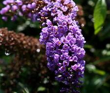 Schmetterlingsstrauch Sommerflieder Buddleja davidii 'Adonis Blue'  60 - 80 cm