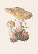 Perlpilz Amanita rubescens Farbdruck von 1965 Mykologie Pilze Fungi