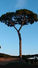 Stone Pine! RARE, Great for Bonsai! seeds! Exotic umbrella pine, Edible nuts!