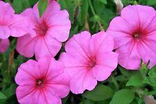 100 PINK PETUNIA Flower Seeds + Free Gift