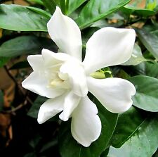 Gardenia absolue NATURALE PURO OLIO 1,5ml Oli essenziali-Top 2 base