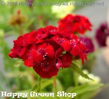 SWEET WILLIAM  RED - 1000 SEEDS - Dianthus barbatus - BIENNIAL FLOWER