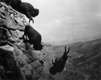 Falling Buffalo BIG Western Art Photograph Limited Edition