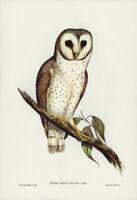 JOHN GOULD DELICATE OWL VINTAGE BIRD ART PRINT POSTER