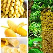 100 Fresh Musa Acuminata Edible Dwarf Banana Tree Plant Seeds Tropical fruits