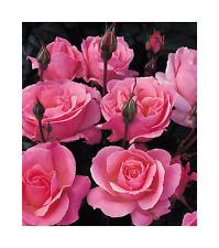 Rose Bare Root Plant 'Queen Elizabeth ' Floribunda Pink, Scented Roses