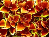 ORANGE SUNSET COLEUS Glowing Foliage Flower Colorful Shade Large Leaves 20 Seeds