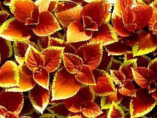 ORANGE SUNSET COLEUS Glowing Foliage Flower Colorful Shade Large Leaves 20 Seeds