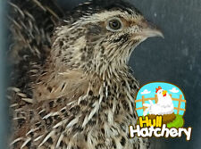 12 Jumbo Brown Coturnix Quail Hatching Eggs - Free Shipping