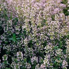 Herb Seeds - Thyme English Winter - 1000 Seeds