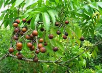 Sapindus saponaria, Soap Berry, 5  seeds