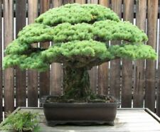 Bonsai i! Himalaya Kiefer !i Zierbaum - winterharter Baum - Saatgut Samen.