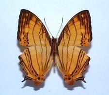 CYRESTIS LUTEA LUTEA - unmounted butterfly
