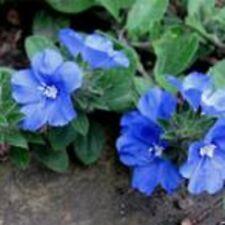 BLUE EYES Evolvulus pilosus groundcover flowers plants lge 4cell seedling punnet