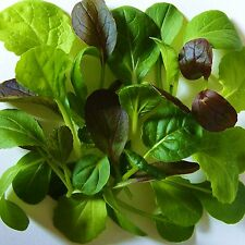 MESCLUN - PAK CHOI MIX [salad leaves] - 400 Seeds [colourful & crunchy mixture]