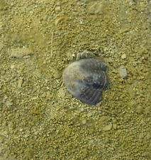 Arthropod - Mississippian Period - Kaskia Trilobite Tail - Tt32