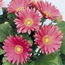 Flower Seeds : Gerbera Daisy Flower Seeds - Kitchen Garden Pack