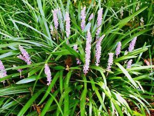 "Monkey Grass Mondo 20 Healthy Culms ""Lily Turf"" Bareroot & Grow Guide"