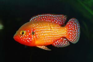 """Jewel Cichlid Live Fish Aquarium Tanks  Aquatics Tropical 2"""""""