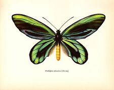 "1963 Vintage PROCHAZKA BUTTERFLY ""QUEEN ALEXANDRA'S BIRDWING"" COLOR Lithograph"