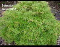 Acer Palmatum Nishiki Gawa In 7cm Pot Ideal Bonsai Subject Ebay