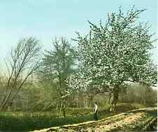 Studien. Frühlingslandschaft. Blühender Birnbaum II.  Photochrome original d&#03