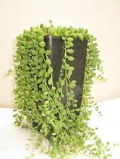 Senecio rowleyanus | String of Pearls | Trailing | Succulent | 14cm pot free p&p