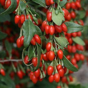 50 GOJI BERRY Seeds – Antioxidant – Chinese Medicinal – UK Hardy - Free Postage