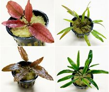 4 Potted Crypts (Assorted Starter Pack) - Live Aquarium Plants