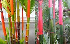 10 Semi Cyrtostachys renda Red Palma Tropicale variegata Lakka seeds korn grain
