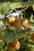 Die große Kiwi ist ein Kletterkünstler und liefert wertvolle Vitamine.