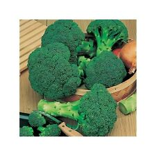 ORGANIC VEGETABLE  BROCCOLI CALABRESE GREEN SPROUTING  1000 SEEDS
