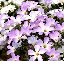 Linanthus grandifloras (Mountain Phlox) x  100 seeds. Groundcover. Flowers