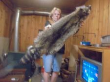 "45""X 9"" Adirondack Mt Fancy Northern Raccoon Pelt/Taxidermy/Fur/Coyote /Fox/Craft"