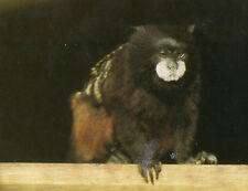 OLD POSTCARD - RED MANTLED TAMARIN at MARWELL ZOO, HAMPSHIRE