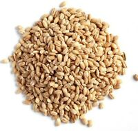 Pearl Barley Seeds 200 Permaculture Microgreen Sprouting 20g