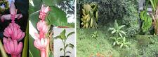Drei winterharte Bananen: Schneebanane, Faserbanane & Musa velutina * Samen-Set