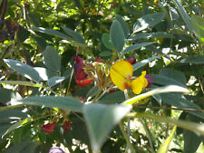 Pigeon Pea Organic Seed : Cajanus : Dal Lentil : Permaculture Food Attract Bees