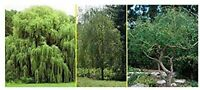 3 Willow Tree Bundle - 3 Different Genus -  Weeping, Austree, Corkscrew