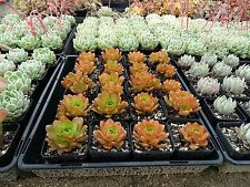 Vertical garden succulent aeoniums - 30 cuttings - 6 different types