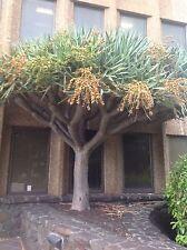 Dracaena draco, seeds dragon blood  the Canary Islands dragon tree Febuary 2017