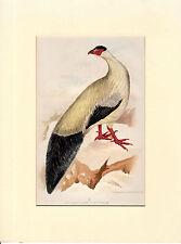 "Antico Chromo Litho piatto di uno stranissimo Bird - ""crossoptlon tibetanium"""