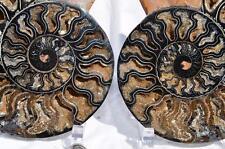 "1328nx RARE 1in100 BLACK Ammonite PAIR Deep Crystals  FOSSIL XXXL 7.6"" 194mm"