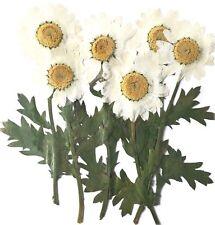 Pressed flowers, white marguerite daisy on stalk 12pcs, floral art craft